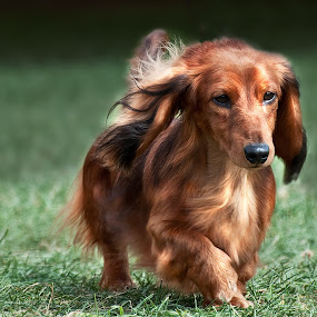Chandler by Irene Orloff - Animals - Dogs Portraits ( dachshund, pet, dog )