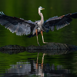 Great Blue Touch Down by Mike Watts - Animals Birds ( bird, great blue heron, heron, great blue )