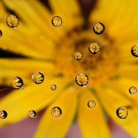 Drops on a Spider Web............... by Aroon  Kalandy - Artistic Objects Other Objects ( abstract, calicut, water drops, aroon kalandy, multiple drops, web, beauty, yellow, refraction, tamron, spider web, macro, cob web, drops, floral, flower )