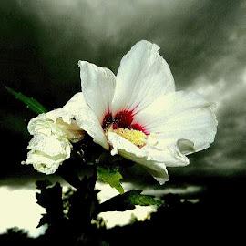 Tender white on winter by Nat Bolfan-Stosic - Uncategorized All Uncategorized ( winter, white, tender, flowers, garden )