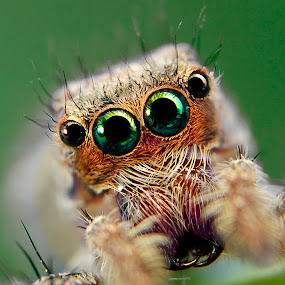 Jumping spider by Jun Santos - Animals Insects & Spiders ( macro, nature, spider, insect, animal )