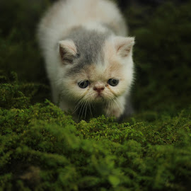 dilute calico edotic kitten  by Dedy Murtiawan - Animals - Cats Kittens ( cat, kitten )