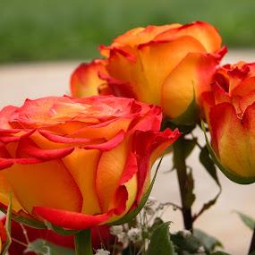 Graduation Roses by Debbie Salvesen - Flowers Flower Arangements ( present, orange, rose, rose bouquet, roses, flowers, flower arrangement, graduation,  )