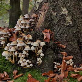 Autumn in the wood by Nico Kranenburg - Nature Up Close Mushrooms & Fungi ( wood, autumn, nature close up, mushrooms,  )