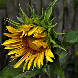 Sun Flower by Ron Olivier - Flowers Single Flower (  )