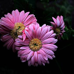 Pink Gerbera by Pieter J de Villiers - Flowers Flower Arangements ( pink flowers, pink gerbera, flower arangement, flowers, gerbera )