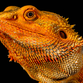 Beardie by Garry Chisholm - Animals Reptiles ( sigma, orange, bearded dragon, macro, workshop, reptile, lizard, canon, garry chisholm )