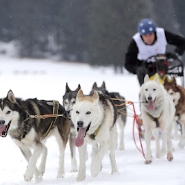 sleddog by Alessandra Antonini - Sports & Fitness Other Sports ( dogs, sleddog, outdoor, musher, snow, race )