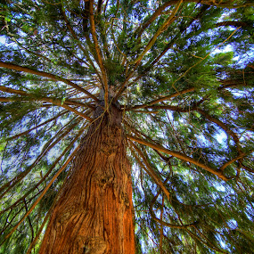 Evergreen Tree by Chip Bolcik - Nature Up Close Trees & Bushes ( oregon, tree, perspective, salem, evergreen )