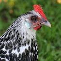 Silver Spangled Hamburg Chicken
