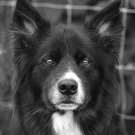 B&W Merlin by Chrissie Barrow - Black & White Animals ( monochrome, border collie, black and white, dog, mono, portrait, animal )