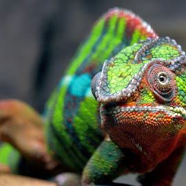 Panther Chameleon by Khaled Ibrahim - Animals Reptiles