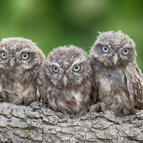 Six eyes by Jürgen Sprengart - Uncategorized All Uncategorized ( hdr, steinkauz, green, birds, owls, animal, six )