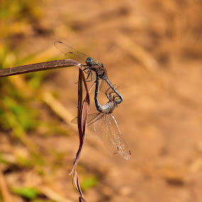 by Stephen Hooton - Animals Insects & Spiders ( gambia )