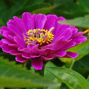 ZINNIA by Wojtylak Maria - Flowers Single Flower ( zinnia, blooming, july, pink, garden, flower,  )