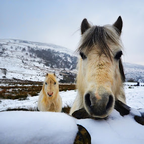 by Becky Wheller - Animals Horses ( mountains, two of a kind, snow, ponies.animals, landscape )