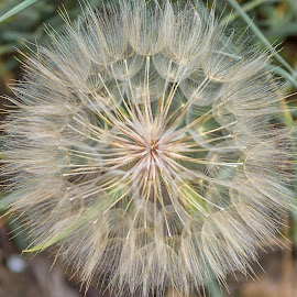 Dandelion by Angela Higgins - Nature Up Close Other plants
