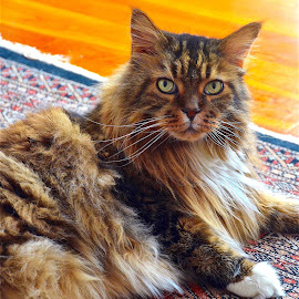 by Doug Hilson - Animals - Cats Portraits