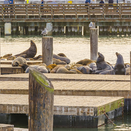 sea lions on Pier 39 by Valerio Rosati - Animals Sea Creatures ( travel, architecture, 39, historic, attraction, dock, sky, tree, pier, marina, gulls, symbol, national, california, tourism, alcatraz, gate, landmark, san, bay, view, bridge, wharf, golden, tug, famous, ship, ocean, security, panorama, schooner, island, clear, area, sunny, steamer, tall, water, site, clouds, building, francisco, sea, boat, supervised, blue, scenery, historical, lions, fisherman )