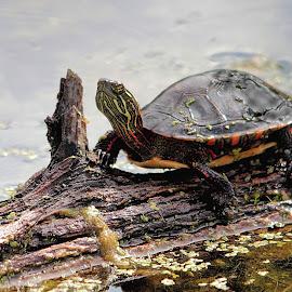 Painted Turtle by Bob Bissonette - Animals Amphibians ( amphibian )