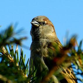 vrabec by Mrak Rado- Fotograf - Animals Birds ( vrabec, bird close up, guard, nest, birds )