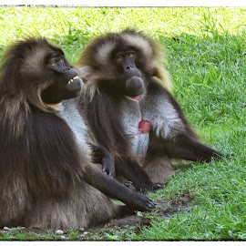 Baboon Couple  by Lorraine D.  Heaney - Animals Other Mammals