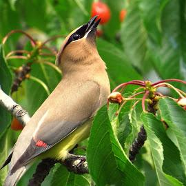 Cedar Waxwing  by Patti Hobbs - Animals Birds ( animals, cedar, cherries, birds, photography, waxwing )