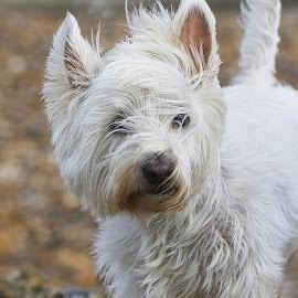 Westie by Fiona Etkin - Animals - Dogs Portraits ( canine, westhighland terrier, westie, pets, white, dog, animal )