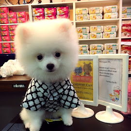 Snow thesuper mini pomerian by Ryu Winata - Animals - Dogs Puppies ( #snowpomerian #mypuppy )