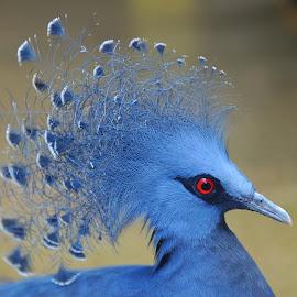 Crowned Pigeon by Tomasz Budziak - Animals Birds ( animals, birds )