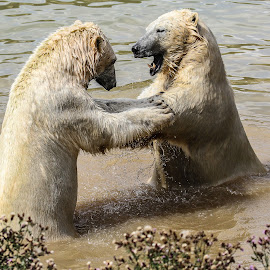 Shove it! by Garry Chisholm - Animals Other Mammals ( bear, polar, garry chisholm, nature, wildlife )