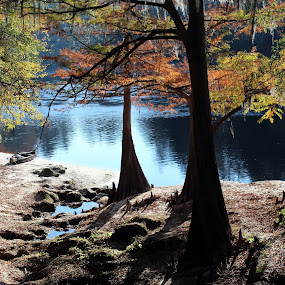 Fall on the Suwannee  by Bill Bettilyon - Landscapes Forests ( park, suwannee river, tree, florida, cypress, trees, forest, river )