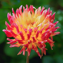 Red and Yellow Flower by Jim Downey - Flowers Single Flower ( red, green, dahlia, spiked, yellow )