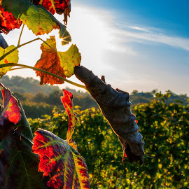 Autumn in vineyard by Albin Bezjak - Nature Up Close Other plants