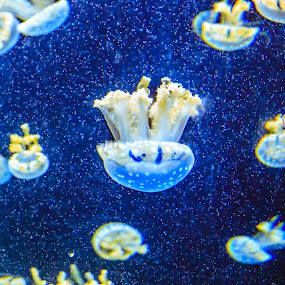 Jellyfish by Valliappan Chellappan - Animals Fish ( mushroom, fish, swim, aquarium, jellyfish )