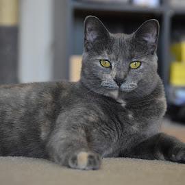 Little Bit by Barbara Nuetzmann - Animals - Cats Portraits ( cat, grey, yellow eyes )