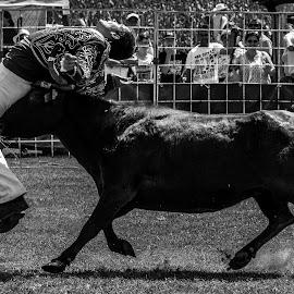 Vachette Landaise by Francky Audouard - Sports & Fitness Rodeo/Bull Riding (  )