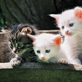 by Ivana Spevec - Animals - Cats Kittens