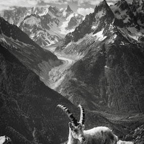 Ibex in the Mountains near Mt Blanc in Black and White by Pete Barnes - Animals Other Mammals ( monochrome, black and white, tmb, wildlife, horn, beauty, landscape, mountains, mer de glace, snow, switzerland, france, italy, alps, animal, chamonix, goat, graze, trek, glacier, ibex, walk, mono, mt blanc, hike )