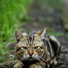 Watching by Farid Wazdi - Animals - Cats Portraits