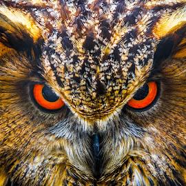 Ready To Kill by Rananjay Kumar - Animals Birds ( #eyes, #owl, #animal, #birds, #eagle owl, #canon70d, #canon )