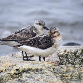 Cali Shore Bird by Erika  Kiley - Novices Only Wildlife ( shore, summer, rock, ocean, birds )