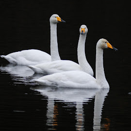 Swans by Espen Rune Grimseid - Animals Birds ( canon, swans, reflection, nature, fauna, white, birds, black )