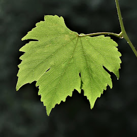 by Koh Chip Whye - Nature Up Close Leaves & Grasses (  )