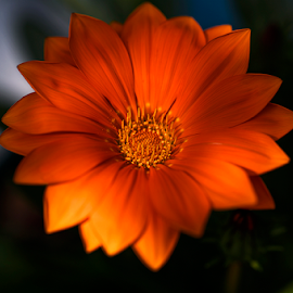 flame  by Zinovi Seniak - Flowers Flower Gardens ( nature, light, flower )