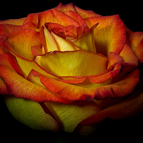 Burning Rose by Dbart ... - Flowers Single Flower (  )