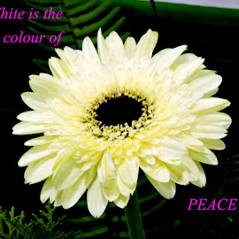 PEACE by SANGEETA MENA  - Typography Quotes & Sentences