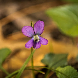 Purple Flower by Barry Blaisdell - Flowers Flowers in the Wild ( wild, single flower, woods, flower, purple flower )