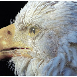 American Eagle... by Morris Kleyman - Digital Art Animals ( digital art..., predator, animals, colors, places, portraits, birds,  )
