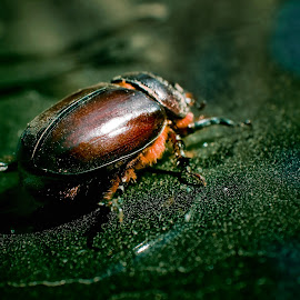 Cockchafer on dirty car by Alexandru Nita - Animals Insects & Spiders ( hairs, dust, cockchafer, insect, particles )